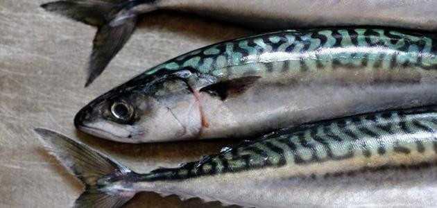 الأسماك الدهنية