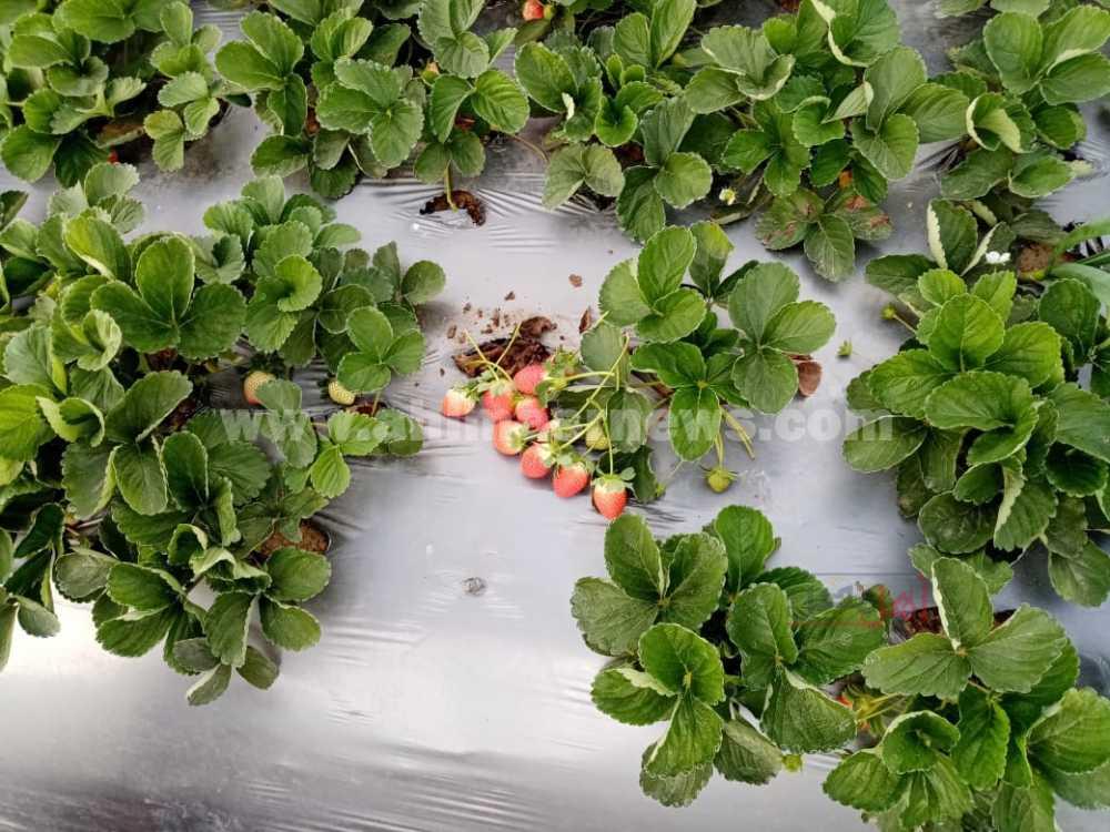زراعة الفراولة بالبحيرة